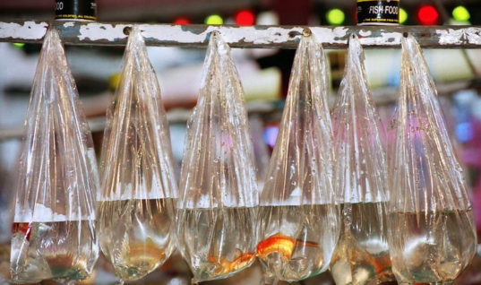 Carnival Fish Are the Unacknowledged Victims of Animal Cruelty