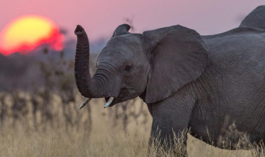 96 Elephants Are Killed in Africa Every Single Day